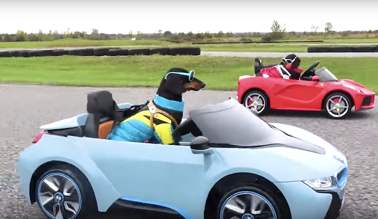 Crusoe The Celebrity Dachshund And Brother Oakley Race Each Other - Little sports cars